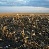 Champ de maïs mort Image stock