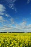 Champ de moutarde sous le beau ciel image libre de droits