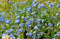 Champ de myosotis de fleurs Photographie stock libre de droits
