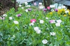 Champ de pavot à opium Photos libres de droits