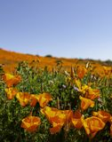Champ de pavot de Californie pendant une fleur superbe photos libres de droits