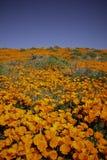 Champ de pavot de Californie pendant une fleur superbe photo stock