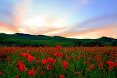 Champ de pavot dans le coucher du soleil images libres de droits