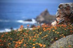 Champ de pavot de Californie Photo libre de droits