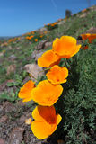 Champ de pavot de Californie, Big Sur, la Californie Photo libre de droits