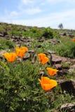 Champ de pavot de Californie, Big Sur, la Californie Photographie stock libre de droits