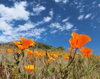 Champ de pavot de Californie dans le printemps, Etats-Unis Photos stock