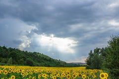 Champ de paysage des tournesols Image stock