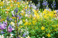 Champ de petites fleurs jaunes avec les fleurs violettes sur le premier plan Photographie stock libre de droits