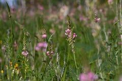 Champ de petites fleurs de rose sauvage et de pissenlits fanés en été sur un fond naturel dans un jour ensoleillé Photographie stock