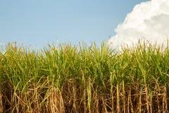 Champ de plantation de Sugar Cane photo stock