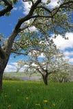 Champ de pommiers avec les fleurs et le ciel bleu Image stock