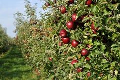 Champ de pommiers avec les pommes mûres rouges Photo libre de droits