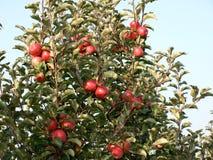 Champ de pommiers avec les pommes mûres rouges Photographie stock libre de droits