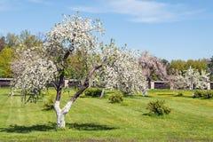 Champ de pommiers de floraison au printemps Photos libres de droits