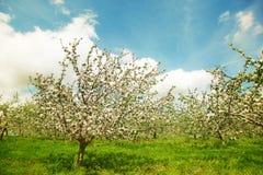 Champ de pommiers de floraison au printemps Image stock
