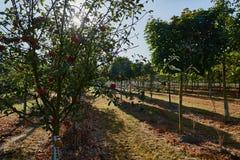 Champ de pommiers, fruits mûrs accrochant sur la branche Photo stock