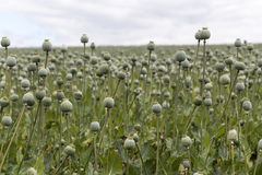 Champ de Poppy Seed Photographie stock