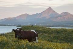 Champ de pré de vache Photos libres de droits