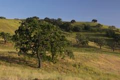 Champ de printemps de Santa Ynez des chênes et des prairies Images stock