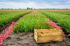 Champ de production d'ampoules de tulipe avec une vieille caisse en bois Photographie stock libre de droits