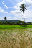 Champ de rizières Image libre de droits