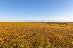Champ de roulement des sojas mûrs prêts pour la récolte photographie stock libre de droits