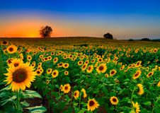 Champ de roulement des tournesols Photographie stock