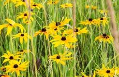 Champ de Rudbeckia jaune (Susan Flower observée par noir) image stock