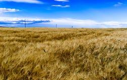 Champ de Rye Image libre de droits