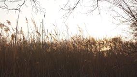 Champ de Rye pendant un coucher du soleil avec le beau soleil shinning à l'arrière-plan banque de vidéos