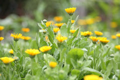 Champ de souci (calendula) Photo stock