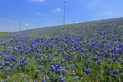 Champ de Texas Bluebonnet Image libre de droits