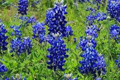 Champ de Texas Bluebonnet Photographie stock