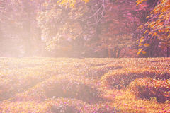 Champ de thé d'automne dans la forêt Images stock