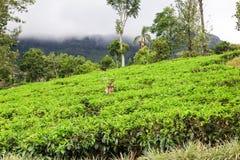 Champ de thé sur la colline Image stock