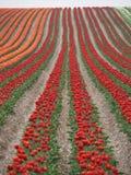 Champ de tulipe Photographie stock