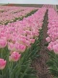 Champ de tulipe Photos stock