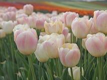 Champ de tulipe Image stock