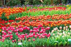 Champ de tulipe Photo stock