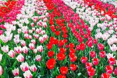 Champ de tulipe avec de diverses tulipes rouges dans les rangées Images stock