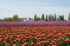 Champ de tulipe avec les fleurs pourpres et rouges Image libre de droits