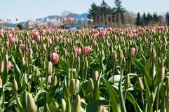 Champ de tulipe avec les fleurs roses Image libre de droits