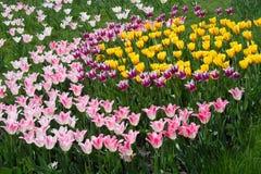 Champ de tulipe. Chiffre de Ying et de yang. Photo libre de droits