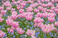 Champ de tulipe dans le jardin de Nabana non Sato, Japon photos stock