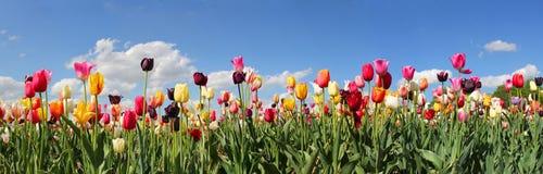 Champ de tulipe de panorama Photo stock