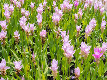 Champ de tulipe du Siam avec le ton de bonbon à fond de tache floue Images stock