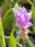 Champ de tulipe du Siam avec le ton de bonbon à fond de tache floue Image stock