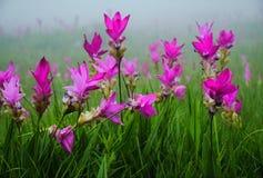 Champ de tulipe du Siam en Thaïlande photographie stock