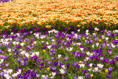 Champ de tulipe et de crocus en Hollande Photo stock